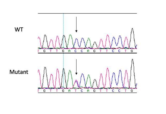 Dissecting Genetic Mechanisms of Hypertrophic Cardiomyopathy by ENU Mutagenesis - Ahmad Lab